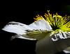 December 2014<br /> <br /> Tinsel<br /> <br /> Flower pictured :: Iceland Poppy<br /> <br /> Flower provided by :: The Gardens @ Highlands Ranch<br /> <br /> 052513_011853