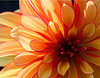 August 2014<br /> <br /> Peach Bellini<br /> <br /> Flower pictured :: Dahlia<br /> <br /> Flower provided by :: Tagawa Gardens<br /> <br /> 042813_010858