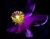 January 2014<br /> <br /> Sparkler<br /> <br /> Flower pictured :: Pasque Flower<br /> <br /> Flower provided by :: The Gardens at Highlands Ranch<br /> <br /> 040713_010097