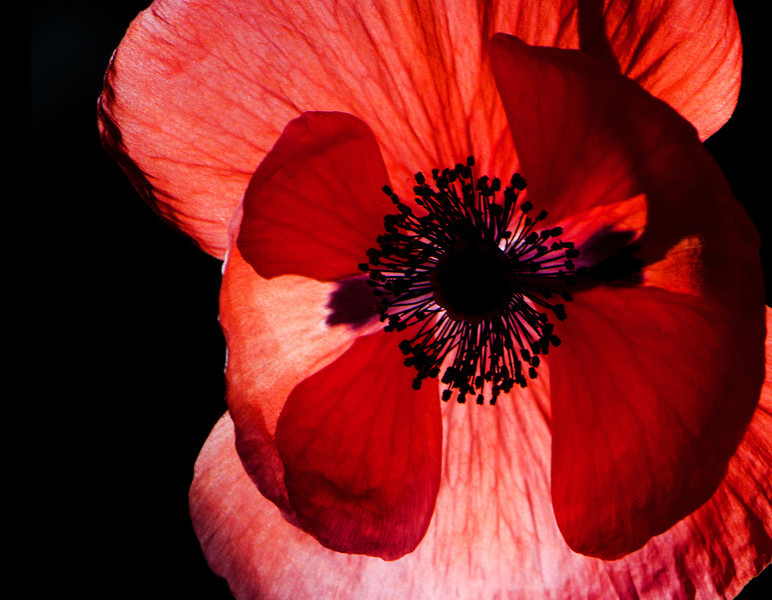June 2014<br /> <br /> Kimono<br /> <br /> Flower pictured :: Tulip Poppy<br /> <br /> Flower provided by :: OTooles<br /> <br /> 063013_013100