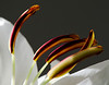 March 2014<br /> <br /> Sing<br /> <br /> Flower pictured :: Asiatic Lily<br /> <br /> Flower provided by :: Babylon Floral<br /> <br /> 123012_007134