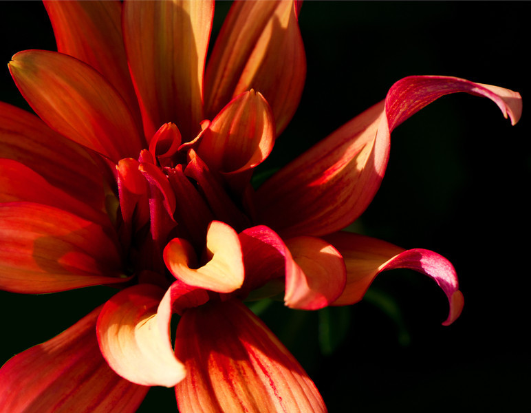 November 2014<br /> <br /> Flare<br /> <br /> Flower pictured :: Dahlia<br /> <br /> Flower provided by :: Tagawa Gardens<br /> <br /> 042813_010881
