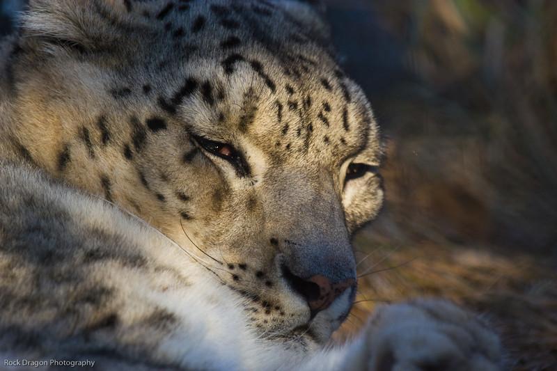 Snow Leopard, Calgary Zoo, Dec. 6