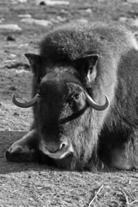 Muskox, Calgary Zoo, Dec. 6