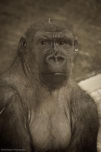 Western Lowland Gorilla, Calgary Zoo, Dec. 6
