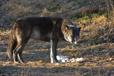Grey Wolf, Calgary Zoo, Dec. 6
