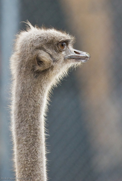 Ostrich, Calgary Zoo, Nov. 30