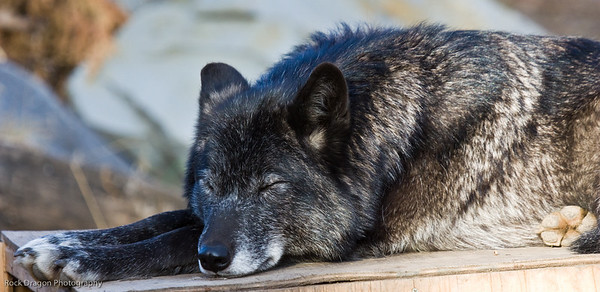 Grey Wolf, Calgary Zoo, Nov. 30