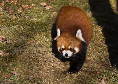 Red Panda, Calgary Zoo, Nov. 30