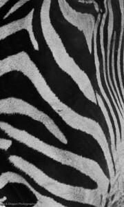 Grevy's Zebra, Calgary Zoo, Nov. 30