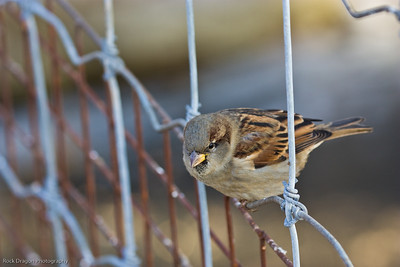 Sparrow, Calgary Zoo, Nov. 30