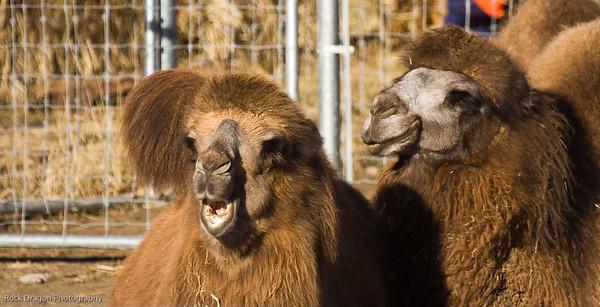 Bactrian Camels, Calgary Zoo, Nov. 30