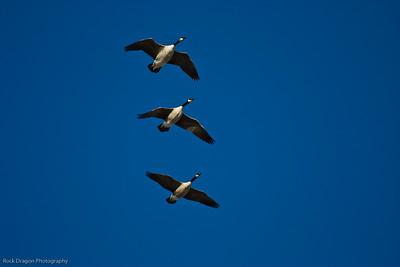 Canada Geese, Calgary Zoo, Nov. 30