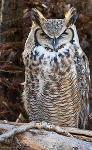 Great Horned Owl, Calgary Zoo, Nov. 30
