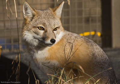 Swift Fox, Calgary Zoo, Nov. 30