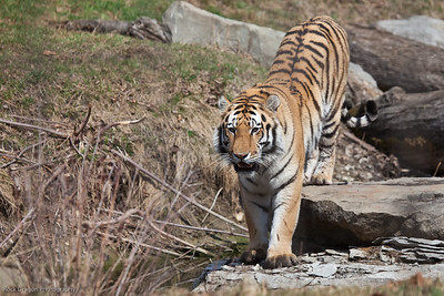 Siberian Tiger, Calgary Zoo, April 26