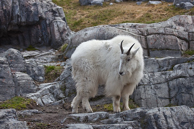 Mountain Goat, Calgary Zoo, April 26