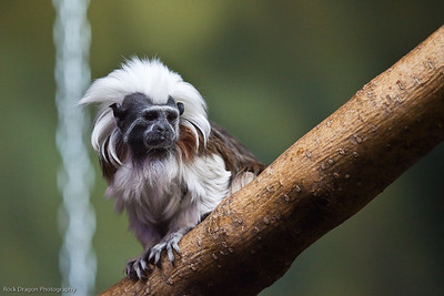 Cotton Top Tamarin, Calgary Zoo, April 26