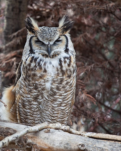 Great Horned Owl, Calgary Zoo, April 26