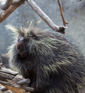 North American Porcupine, Calgary Zoo, April 26