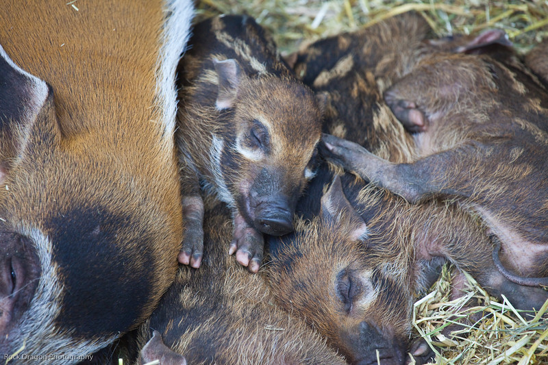 Red River Hog babies, Calgary Zoo, April 26