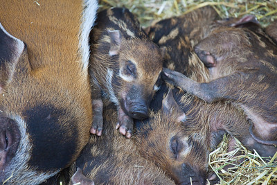 Red River Hog babies, Calgary Zoo, April 26