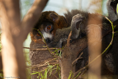 Mongoose Lemur, Calgary Zoo Dec. 23