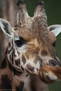 Reticulated Giraffe, Calgary Zoo Dec. 23