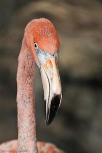 American Flamingo, Calgary Zoo Dec. 23