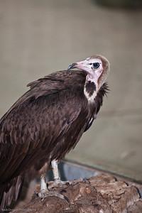 Hooded Vulture, Calgary Zoo Dec. 23