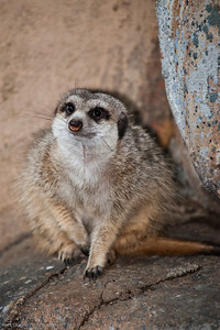 Slender Tailed Meerkat, Calgary Zoo Dec. 23