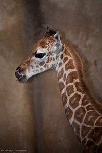 Baby Reticulated Giraffe, Calgary Zoo Dec. 23
