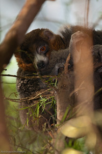 Mongoose Lemur, Calgary Zoo Dec. 23