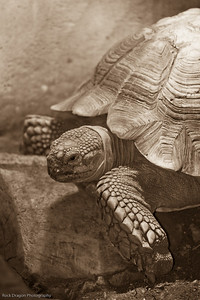 African Spurred Tortoise, Calgary Zoo Dec. 23