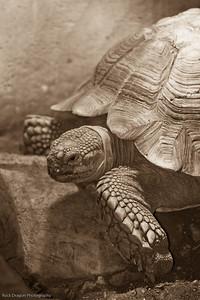 African Spurred Tortoise, Calgary Zoo Dec. 23