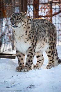 Snow Leopard, Calgary Zoo Dec. 27