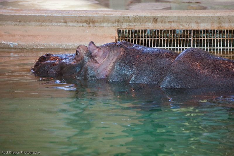 Hippopotomus, Calgary Zoo Dec. 27