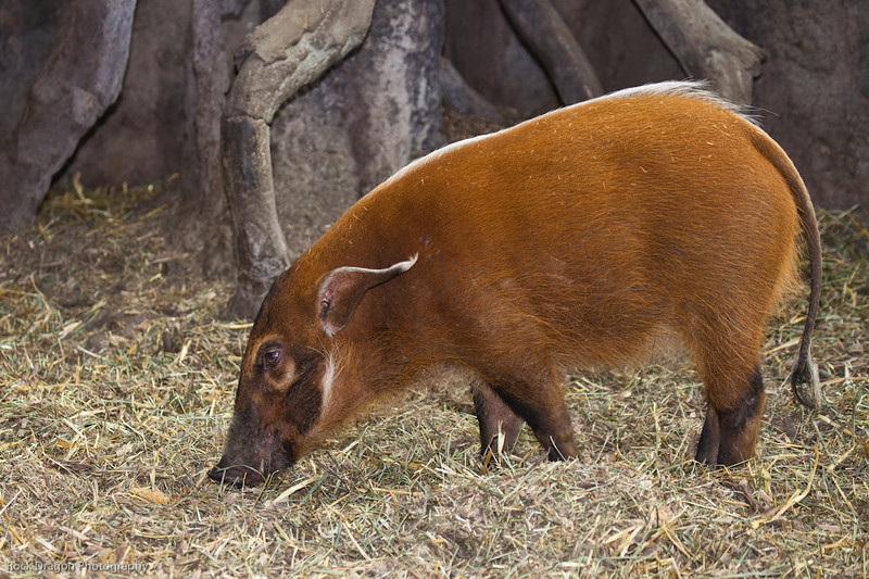 Red River Hog, Calgary Zoo Dec. 27