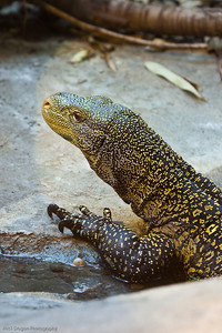 Crocodile Monitor, Calgary Zoo Dec. 27