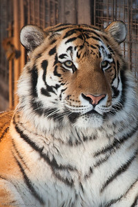 Siberian Tiger, Calgary Zoo Dec. 27