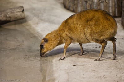 Greater Malayan Chevrotain, Calgary Zoo Dec. 27
