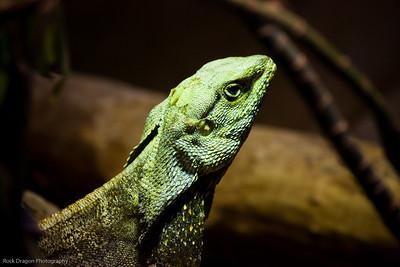 Frill-Necked Lizard, Calgary Zoo Jan. 31