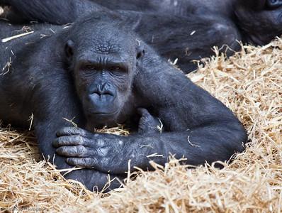 Western Lowland Gorilla, Calgary Zoo Jan. 31
