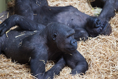 Western Lowland Gorilla's, Calgary Zoo Jan. 31