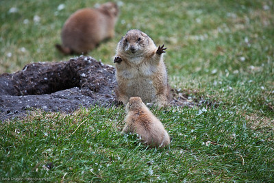 Black Tailed Prairie Dog, Calgary Zoo, June 22