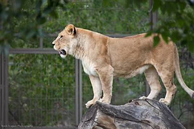 African Lion, Calgary Zoo, June 22