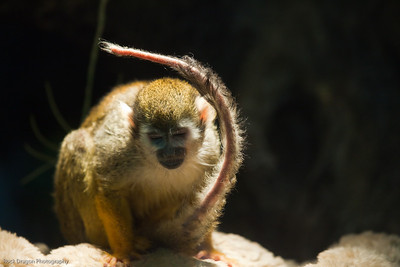 Squirrel Monkey, Calgary Zoo, June 22