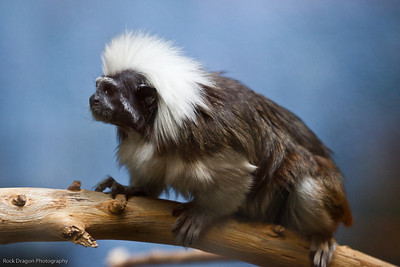 Cotton Top Tamarin, Calgary Zoo, June 22