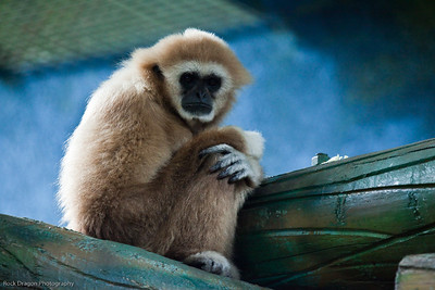 White Handed Gibbon, Calgary Zoo, June 22