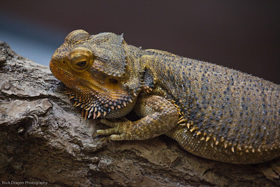 Bearded Dragon, Calgary Zoo, June 22